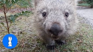 Furry Wombats Rolling Over Compilation