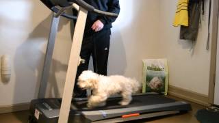 Dog Treadmill Training Video - Cooper L. From Niantic Ct