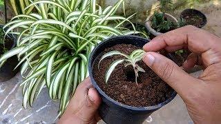 zz plant propagation by stem cutting
