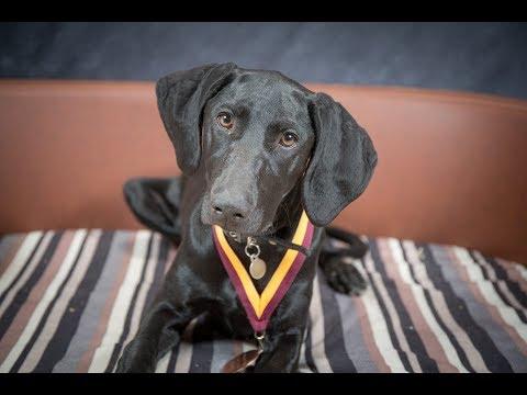 Loma - Weimeraner x Hungarian Vizsla Puppy - 2 Weeks Residential Dog Training