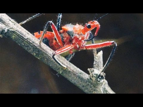 Why The Assassin Bug More Than Lives Up To Its Name
