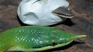 Snake Bytes TV - Baby Snakes!