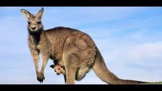 Prezentacja o Zwierzętach Australii.