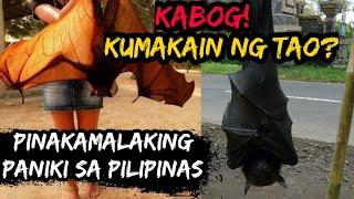 Pinakamalaking Paniki na Nahuli sa Pilipinas / LARGEST BAT IN THE PHILIPPINES | Historya