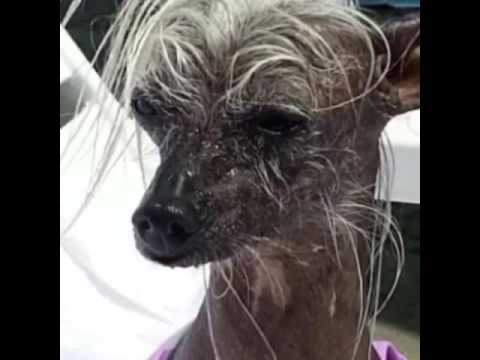 Hairless Chinese Crested is mad because mom put her in the pool