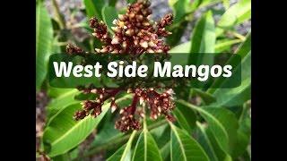 Yard Tour 2017 - West Side Mangos And Mangifera Sp (Wani And Kuini)