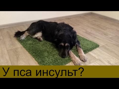 Инсульт у собаки Собака парализована Первые шаги собаки после инсульта
