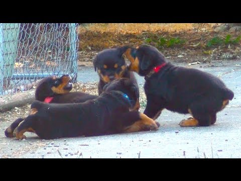 Cute Rottweiler Puppies Playing Together