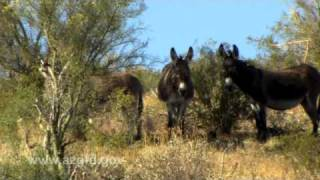 Wild Burros of Arizona.mov