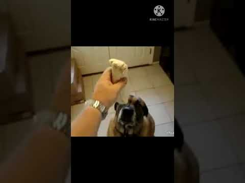 Dog Eats Bean Burrito In Less Than 2sec Cutedog Dogo Dogsshorts Youtube