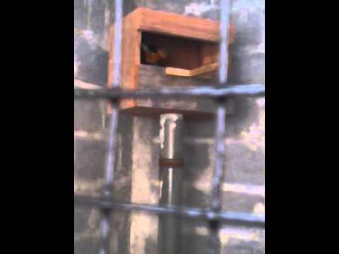 Burung murai batu baru masuk kandang tangkar