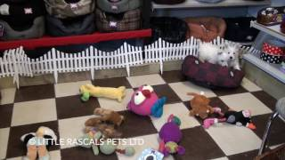 Little Rascals Uk Breeders New Litter Of Westie Puppies - Puppies For Sale UK