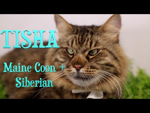 Maine Coon with Siberian Mixed Breed Cat. Funny Video about Amazing Pet Tisha