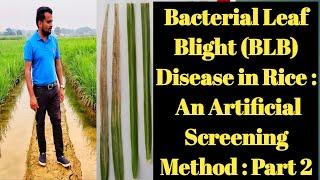 Bacterial Leaf Blight Disease in Rice- An artificial disease screening method: Part 2