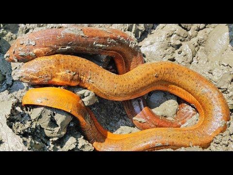 Best Mud Water Fishing | Eel Fish Searching Under Mud Water