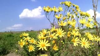 видео полевые цветы желтые