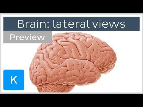 The Brain Explained | Cerebral Cortex - Frontal Lobe - Parietal Lobe 🔴из YouTube · Длительность: 3 мин11 с