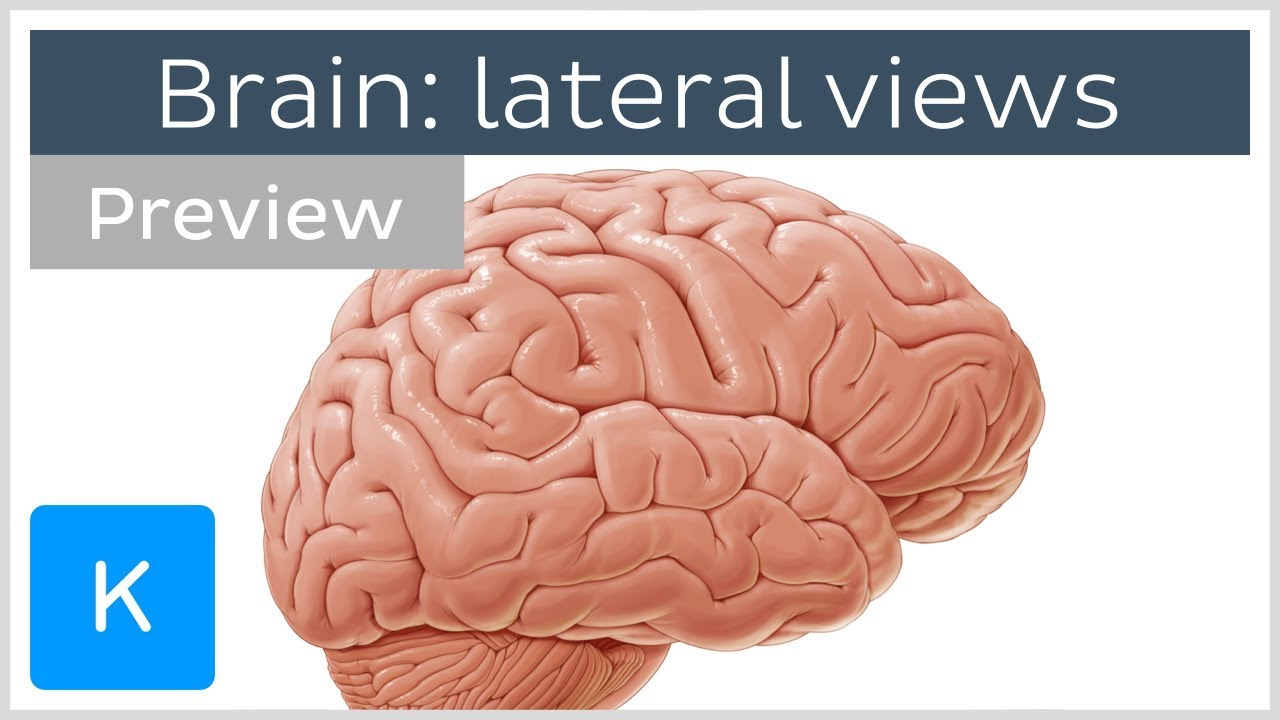 32 Lateral View Of The Brain Diagram - Wiring Diagram Database