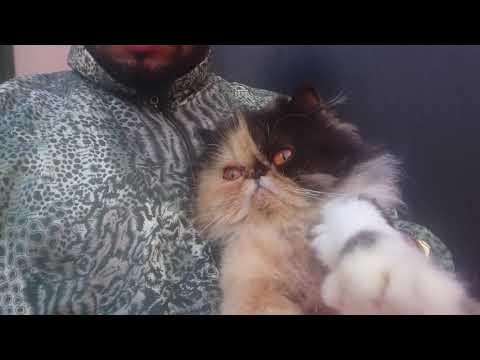 Chat Persan Au  Maroc  Toooope