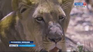 Про львов и Ирину в Зимбабве