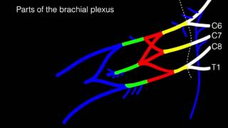 Drawing the Brachial Plexus