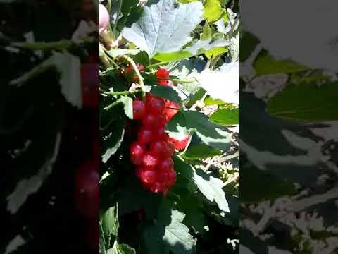 """Питомник """"Тургеньская ягода"""", красная смородина сорт Святомихайловская."""