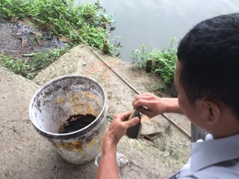 Fishing - How to Ron perch fishing Bait -  Mồi Câu cá Rô Ron - Rô đồng