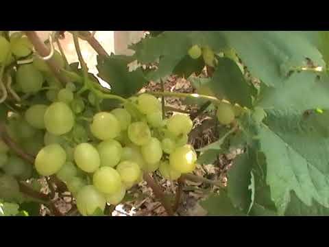 """Сорт винограда """"Белоснежка"""" - сезон 2017"""