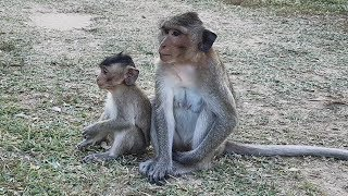 Adorable Casi monkey and baby Tommy going forage, cute mom and baby eating food, Mila troop