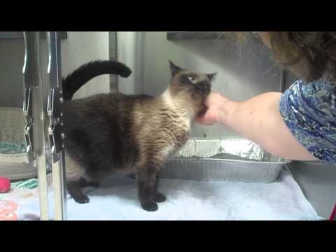 Meet petit Belle, a Siamese cat looking for a home.
