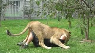 Lew Simba z przydomowego ogródka - część II