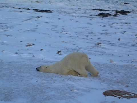 Polar Bear Sliding