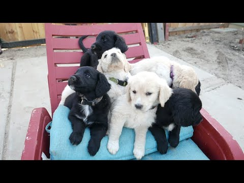English Golden Doodle Puppies in 4k Feb 2019