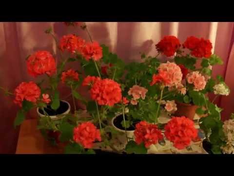 Пеларгония ( герань) прекрасно чувствует себя  в саду Фото