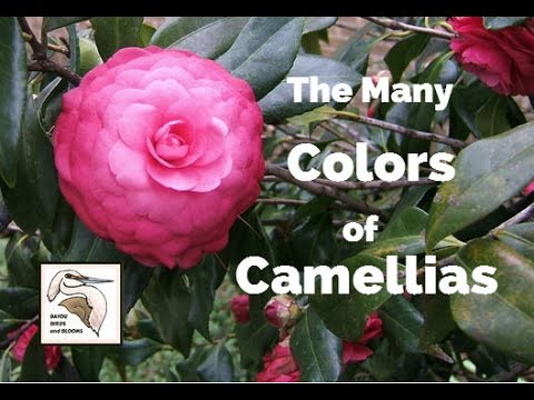The Many Colors Of Camellias  (BEAUTIFUL!)  Camellia Japonica