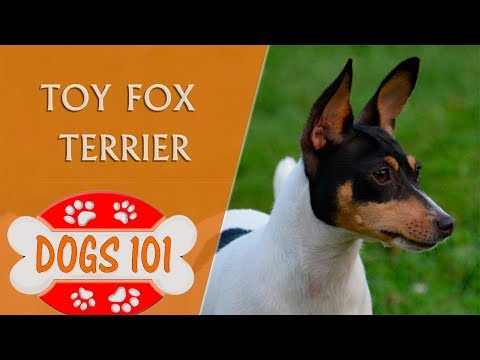 Dogs 101 - TOY FOX TERRIER - Top Dog Facts About the TOY FOX TERRIER