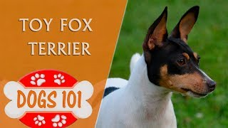 Dogs 101  TOY FOX TERRIER  Top Dog Facts About the TOY FOX TERRIER