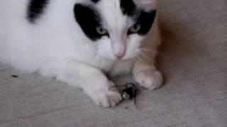 Cat eats a weird loud bug, Cicada