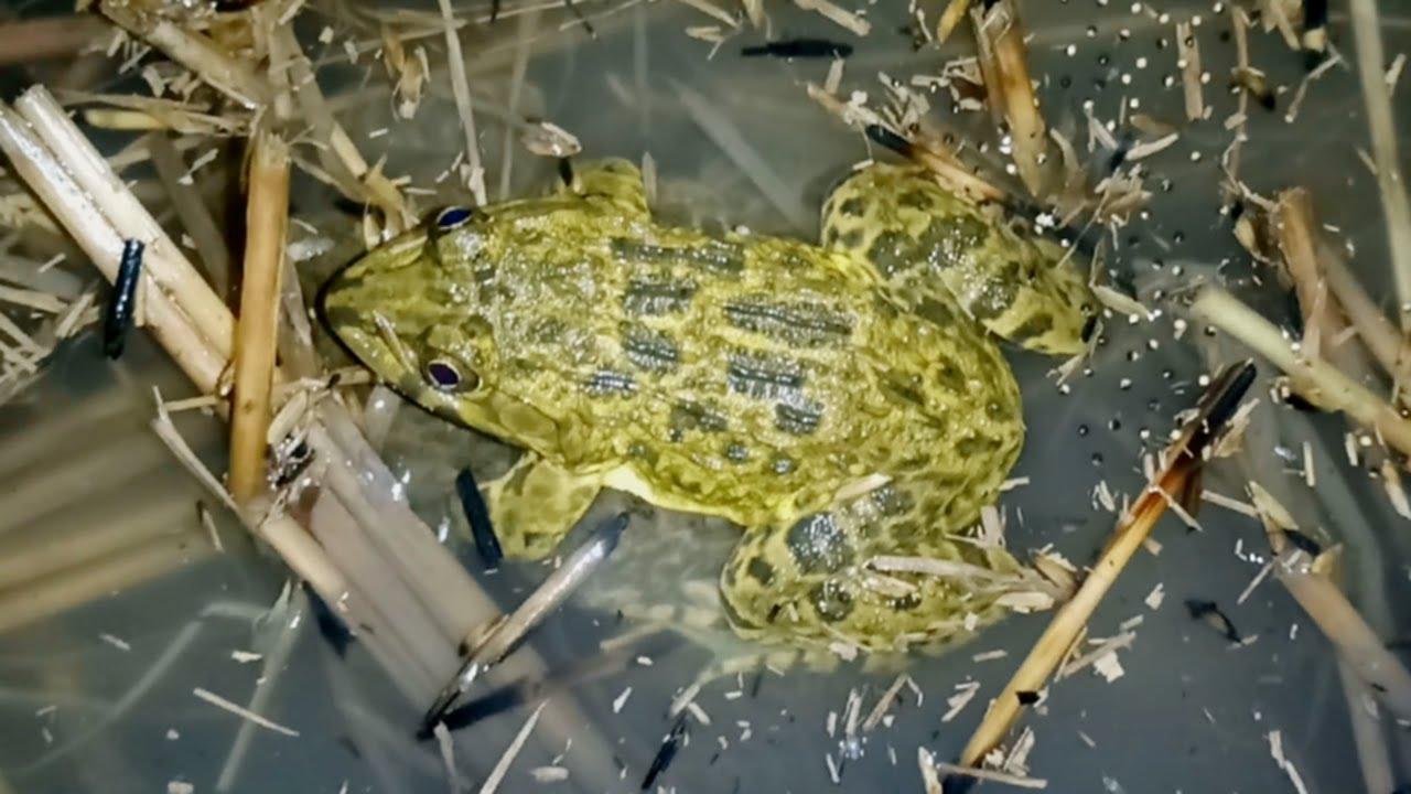 Dầm Mưa Gió Cả Đêm Để Soi Ếch Đồng, Rain in the night catching frogs