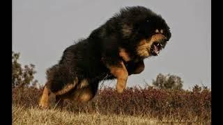 世界のトップ10ガードドッグ|トップ10の最も強い犬 ... このビデオでは...