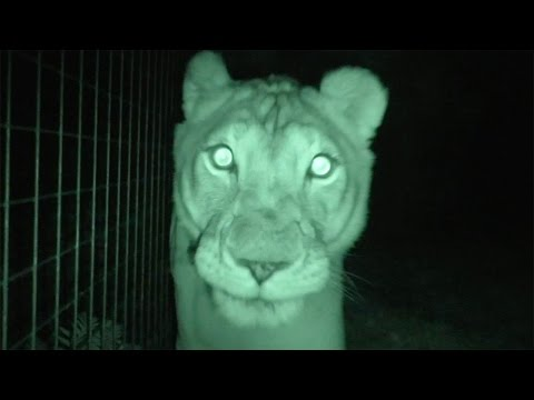 What Are The Big Cats Up To At Night?