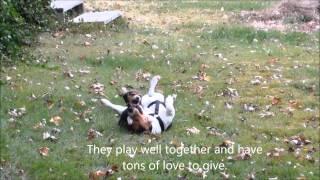 Best Beagle Line In America