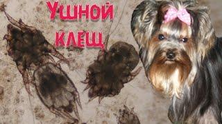 Ушной клещ у собак | Симптомы | Лечение.