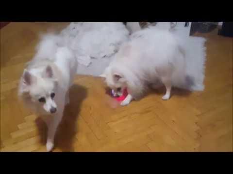 German Spitz vs Cat Toy vs Flashing Ball
