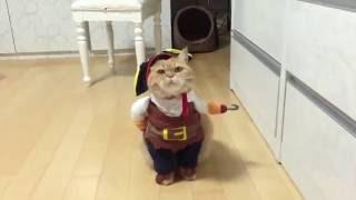 Кот в костюме пирата или самый крутой костюм на Хэллоуин