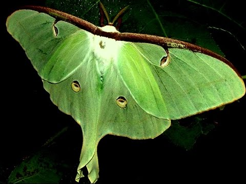 Moth as a Totem: Personality Characteristics and Life-Path Challenges