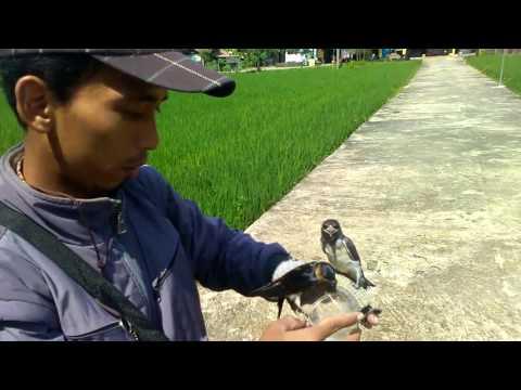 Burung sayang tuan dari Kebumen