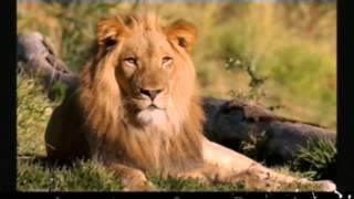 Imágenes de leones y amor salvaje con los humanos