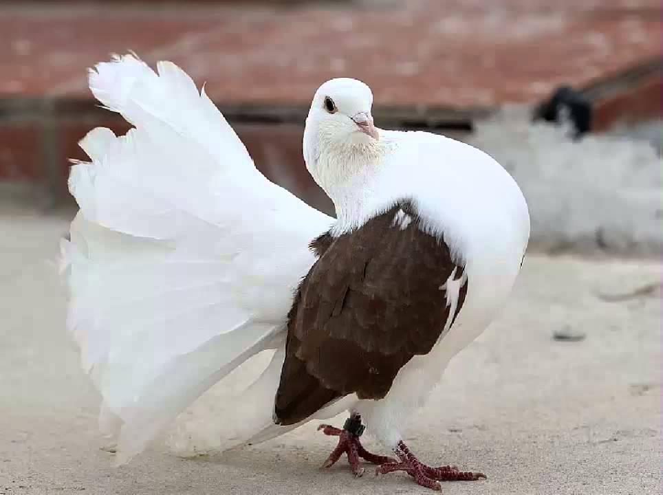 Resultado de imagen de paloma colipava