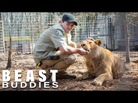 I'm A 'Lion Dad' To 4 Lions and Ligers   BEAST BUDDIES